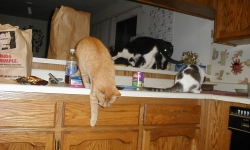 Kitchen counter cats