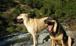 Cali and Mojo at the Yuba River