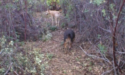 Cali and Mojo in the manzanita