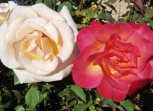 Image Gallery: November Roses